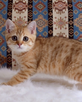 Golden tabby Scottish Straight erkek